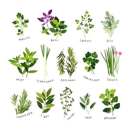 Ilustraciones de imágenes prediseñadas de hierbas y especias como perejil, albahaca, perifollo, eneldo, menta, hierba de limón, romero, cilantro, cebollino, estragón, laurel, tomillo, salvia y orégano
