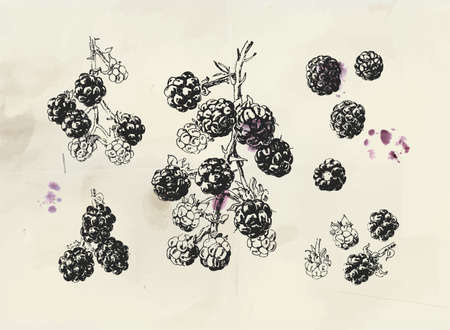 Berries vintage illustration. Isolated hand drawn branch with single berries and background fruit stains