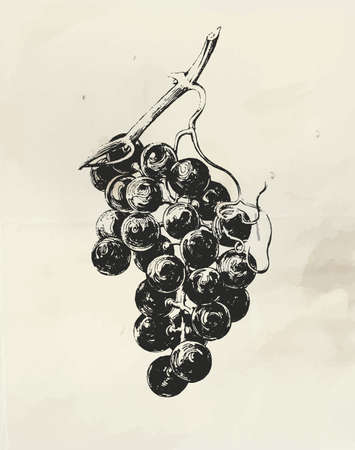 Vintage illustration of ink drawn grape vine