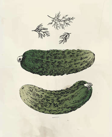 Vintage illustration of ink drawn cucumbers and dill plant