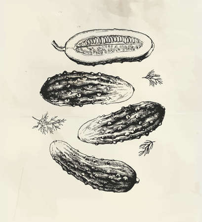 Vintage illustration of ink drawn cucumbers with dill leaves