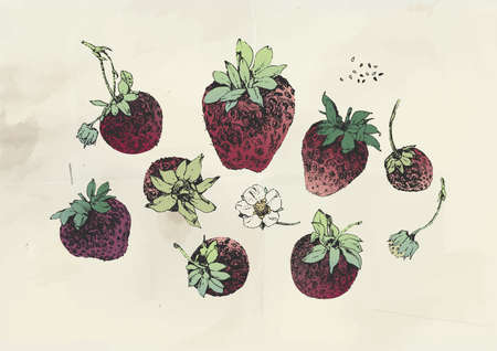 Ink drawn illustration of strawberry fruits and strawberry flower