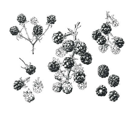 Blackberry  illustration. Isolated hand drawn blackberry branch with single berries  イラスト・ベクター素材
