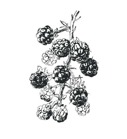 Ink drawn branch with blackberry fruits  イラスト・ベクター素材