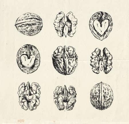 Hand drawn set, vintage drawings of walnuts