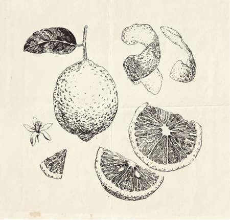 Hand drawn lemon fruit, sliced and peeled lemon, vintage illustration 向量圖像