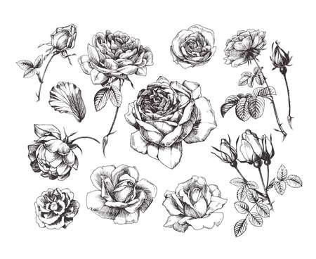 Hand drawn rose illustrations, vintage style, isolated on white background 向量圖像