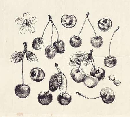 Hand drawn cherries, vintage fruit illustration 向量圖像