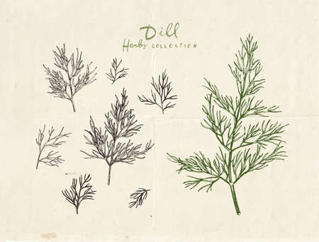 Close up illustration of dill herb, vintage hand drawn dill leaves