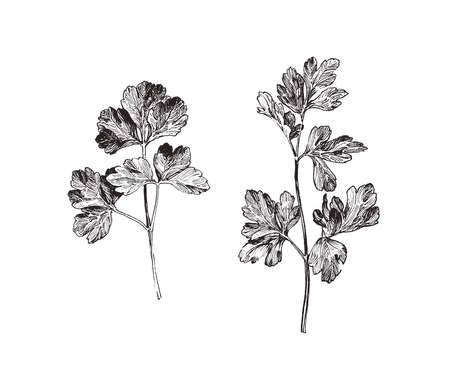 Close up  illustration of parsley herb, hand drawn parsley leaves isolated on white background