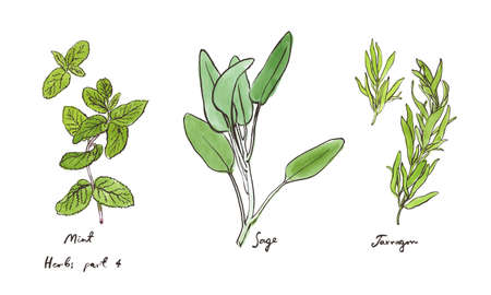 Culinary herbs, hand drawn illustrations isolated on white, part 4