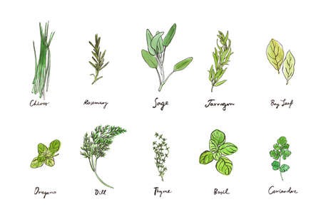 Hand drawing collection of culinary herbs, outline illustrations with watercolour backdrops