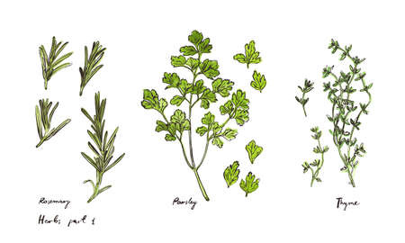Culinary herbs, hand drawn illustrations isolated on white, part 1