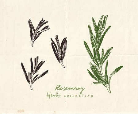 Close up drawing of rosemary herb, vintage hand drawn illustration 向量圖像