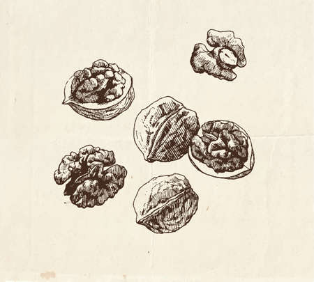 Nuts and seeds drawing, whole walnuts and kernel, hand drawn illustration 向量圖像