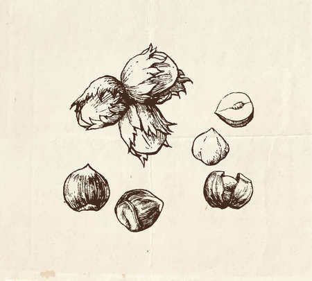 Nuts and seeds drawing, whole hazelnut and kernel, hand drawn illustration