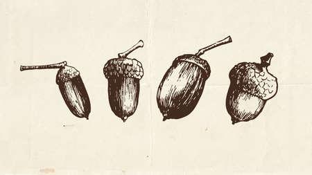 Nuts and seeds drawing, acorns vintage illustration