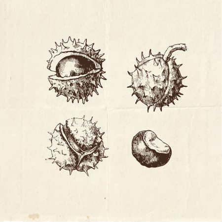 Nuts and seeds drawing, chestnuts vintage illustration