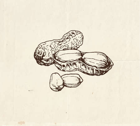 Nuts and seeds drawing, whole peanuts and kernel, hand drawn illustration