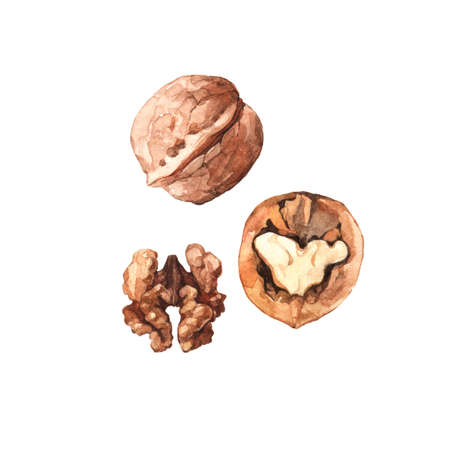 Watercolour highly detailed clip art illustrations of walnuts, nuts and seeds collection isolated on white background