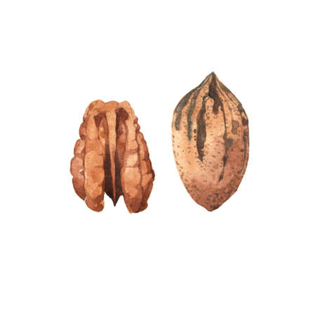 Watercolour highly detailed clip art illustrations of pecan nut, kernel and in nutshell, seeds collection isolated on white background