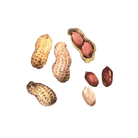 Watercolour highly detailed clip art illustrations of peanuts, nuts and seeds collection isolated on white background