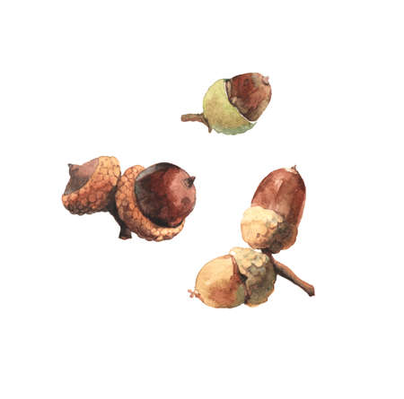 Watercolour highly detailed clip art illustrations of acorns, oak tree seeds collection isolated on white background 版權商用圖片