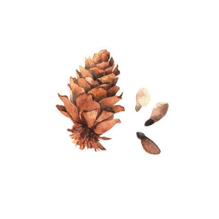 Watercolour highly detailed clip art illustrations of pine cone with seeds, forest nature collection isolated on white background