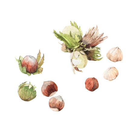 Watercolour highly detailed clip art illustrations of hazelnuts, nuts and seeds collection isolated on white background