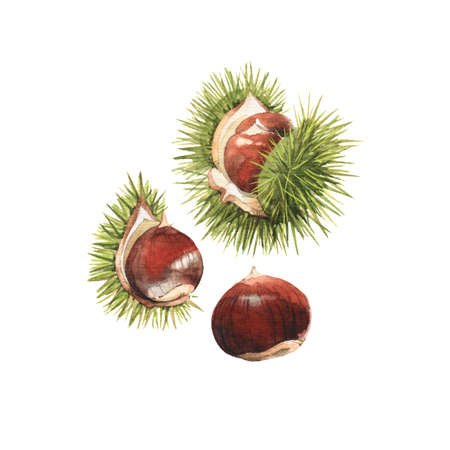 Watercolour highly detailed clip art illustrations of chestnuts, nuts and seeds collection isolated on white background