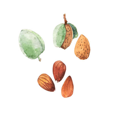 Watercolour highly detailed clip art illustrations of almonds, nuts and seeds collection isolated on white background