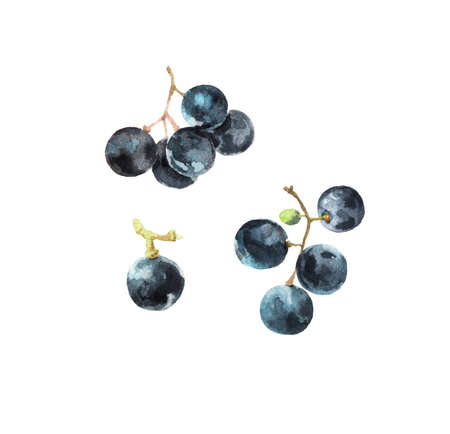 Watercolour illustrations of fresh ripe grape isolated on white background Stok Fotoğraf