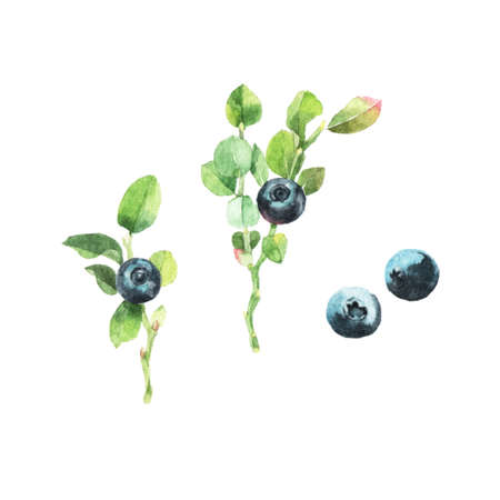 Watercolour illustrations of fresh blueberries, on a green branch isolated on white background 版權商用圖片