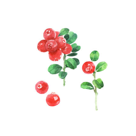 Watercolour illustrations of fresh cranberry, on a green branch isolated on white background