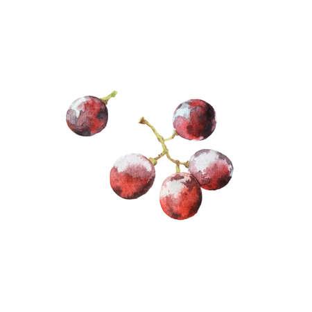 Watercolour illustrations of fresh ripe grape isolated on white background 版權商用圖片