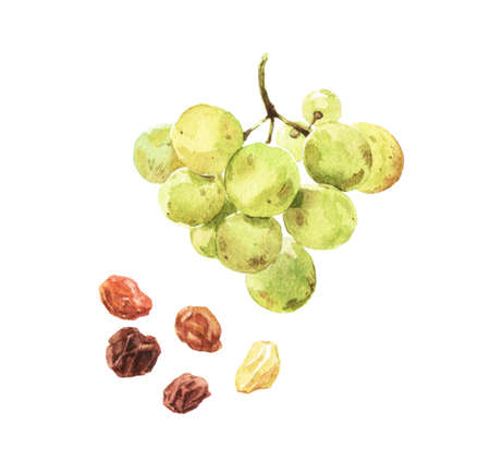 Watercolour illustrations of fresh ripe grape and dried raisins isolated on white background
