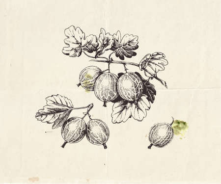 Hand drawn illustration of gooseberry branch with berries and leaves, detailed botanical drawing