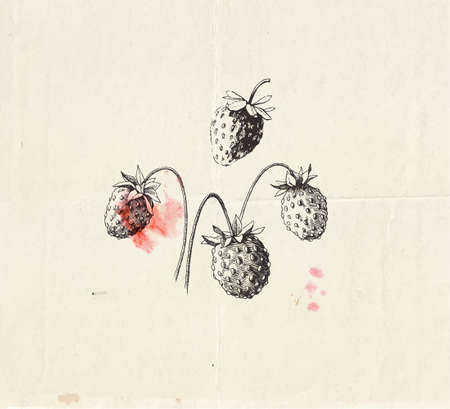 Hand drawn illustration of little wild strawberries, detailed botanical drawing