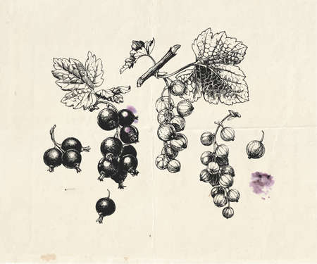 Hand drawn illustration of black and red currants branch with berries and leaves, detailed botanical drawing