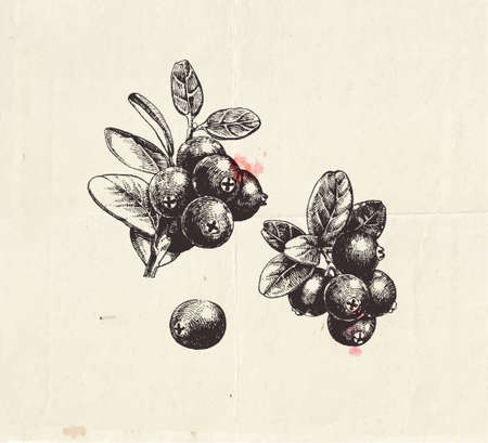 Hand drawn illustration of cranberries, ripe fresh fruit sets, branch with berry and leaves, detailed botanical drawing