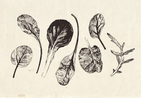 Hand drawn collection of leafy greens drawings, lettuce leaves, clip art botanical illustrations