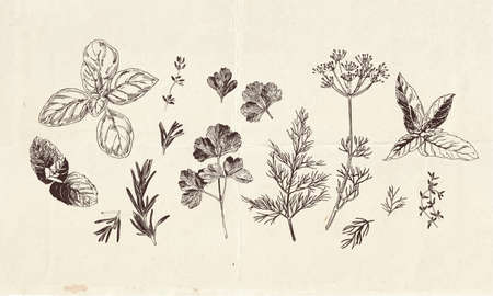 Hand drawn collection of culinary herbs drawings, clip art botanical illustrations