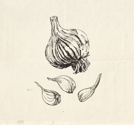 Detailed drawing of garlic bulb with cloves, vegetable clip art illustration Ilustração