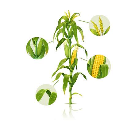 Clip art illustration of corn stalk, detailed vector of fresh ripe corn plant