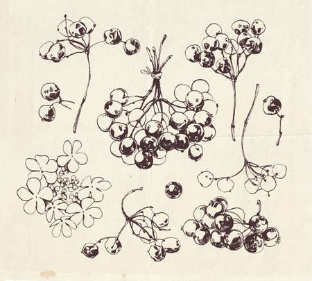 Drawing of guelder rose fruits also known as water elder, cramp bark, snowball tree and common snowball