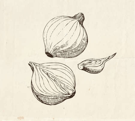 Onion bulb illustration, cut in half onion, food drawings