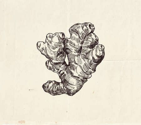 Ginger root ink  drawing, common spice, graphic illustration Ilustração