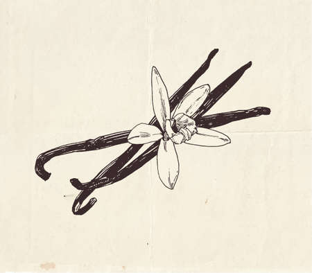 Vanilla pods with vanilla flower, vintage graphic illustration