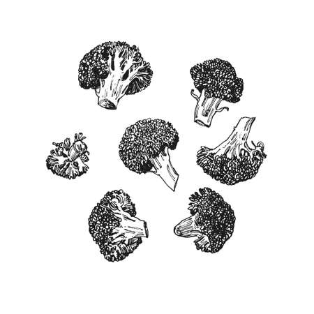 Hand drawn illustration of fresh broccoli cabbage, isolated vegetable drawing