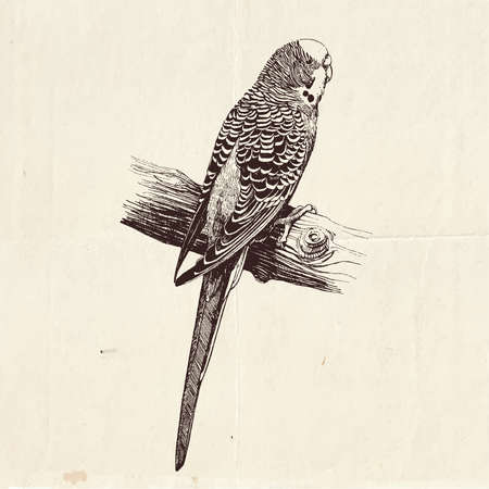 Highly detailed hand drawn illustration of the Australian budgie bird